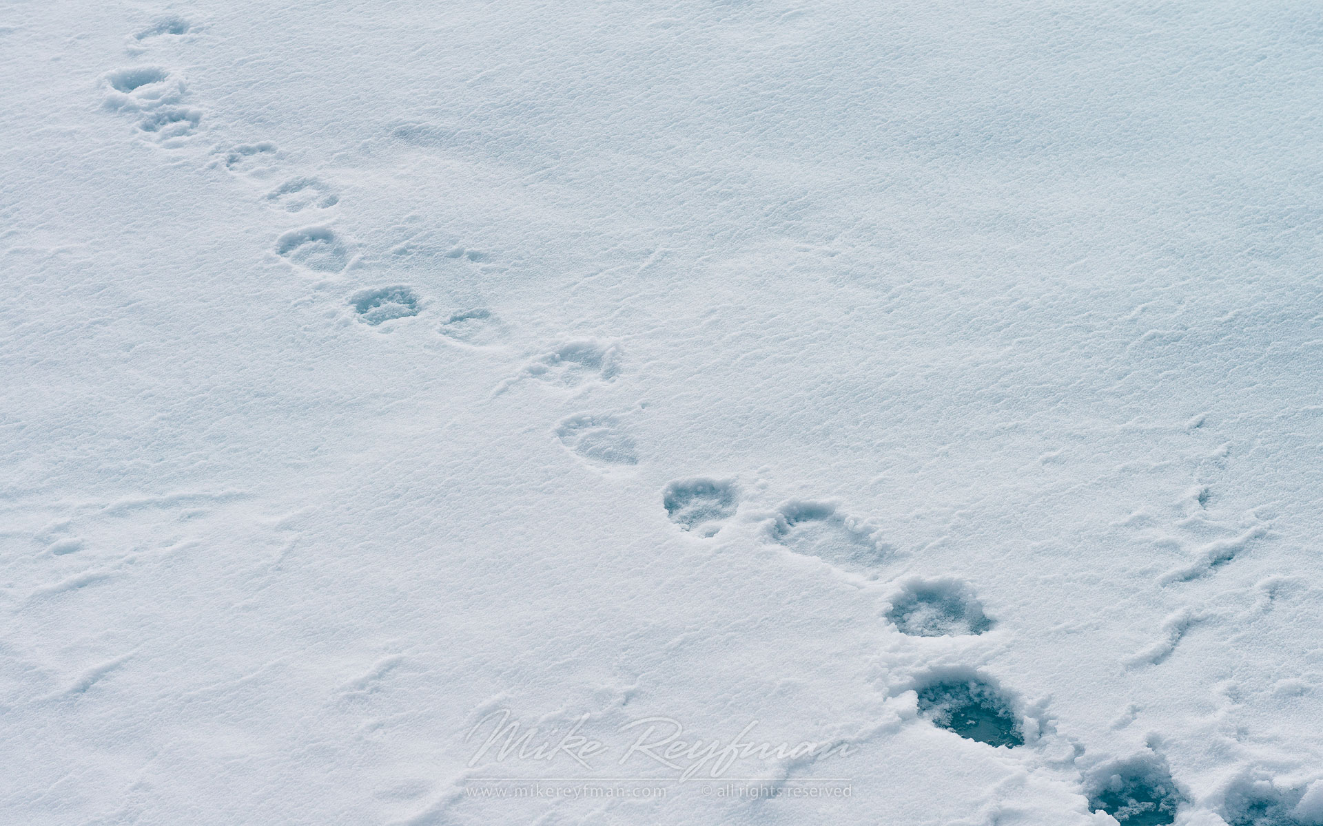 Polar Bear footprints on an ice floe near Svalbard (Spitsbergen) Archipelago, Norway. 81st parallel North.  - Arctic-Landscape-Svalbard-Spitsbergen-Norway - Mike Reyfman Photography