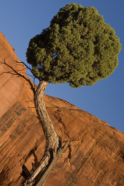 Juniper tree and sand stone wall. Monument Valley, Arizona, USA. - Monument-Valley-Agathla-Peak-El-Capitan-Owl-Church-Rock - Mike Reyfman Photography