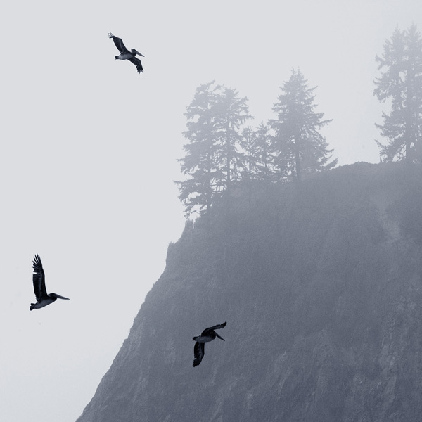 Dancing in the Fog. Pelicans circling in thick fog. First Beach, Olympic National Park, WA, USA