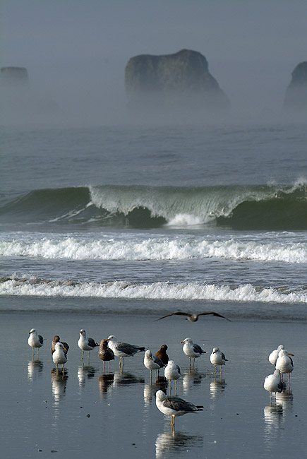 Seagulls at Home. Seagulls reflected on wet sand of First Beach. Olympic National Park, WA, USA