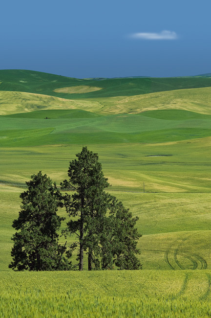 ?Pine trees and rolling hills. Kamiak Butte, Palouse/Pullman, Washington, USA. - Palouse-Eastern-Washington-American-Tuscany - Mike Reyfman Photography