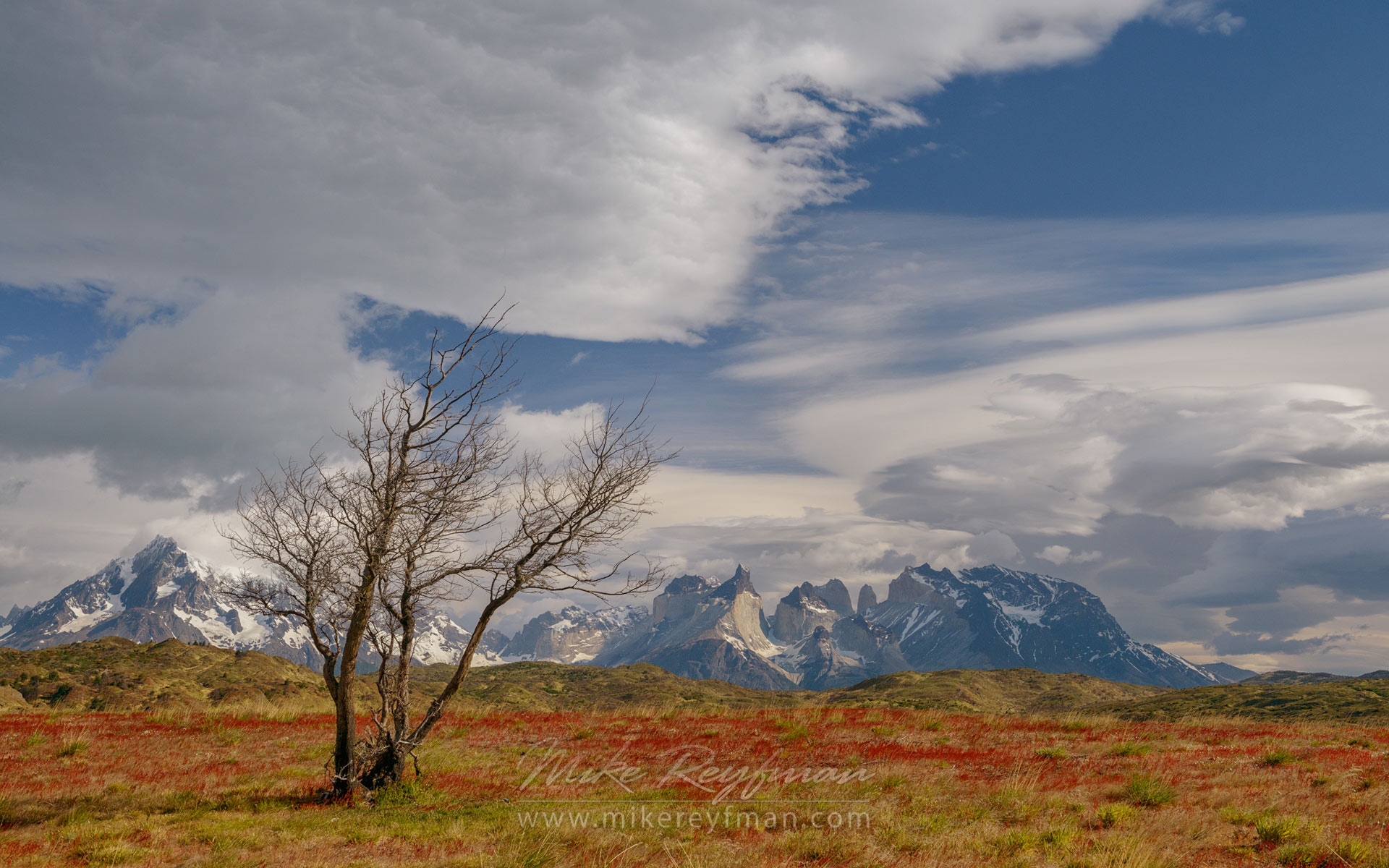 Lonely Antarctic Beech (Nothofagus Antarctica) on Red Sorrel (Rumex Acetosella) covered Patagonian Steppes with Cordillera del Paine on the background. Torres del Paine National Park, Patagonia, Chile. - Torres-Del-Paine-National-Park-Patagonia-Chile - Mike Reyfman Photography