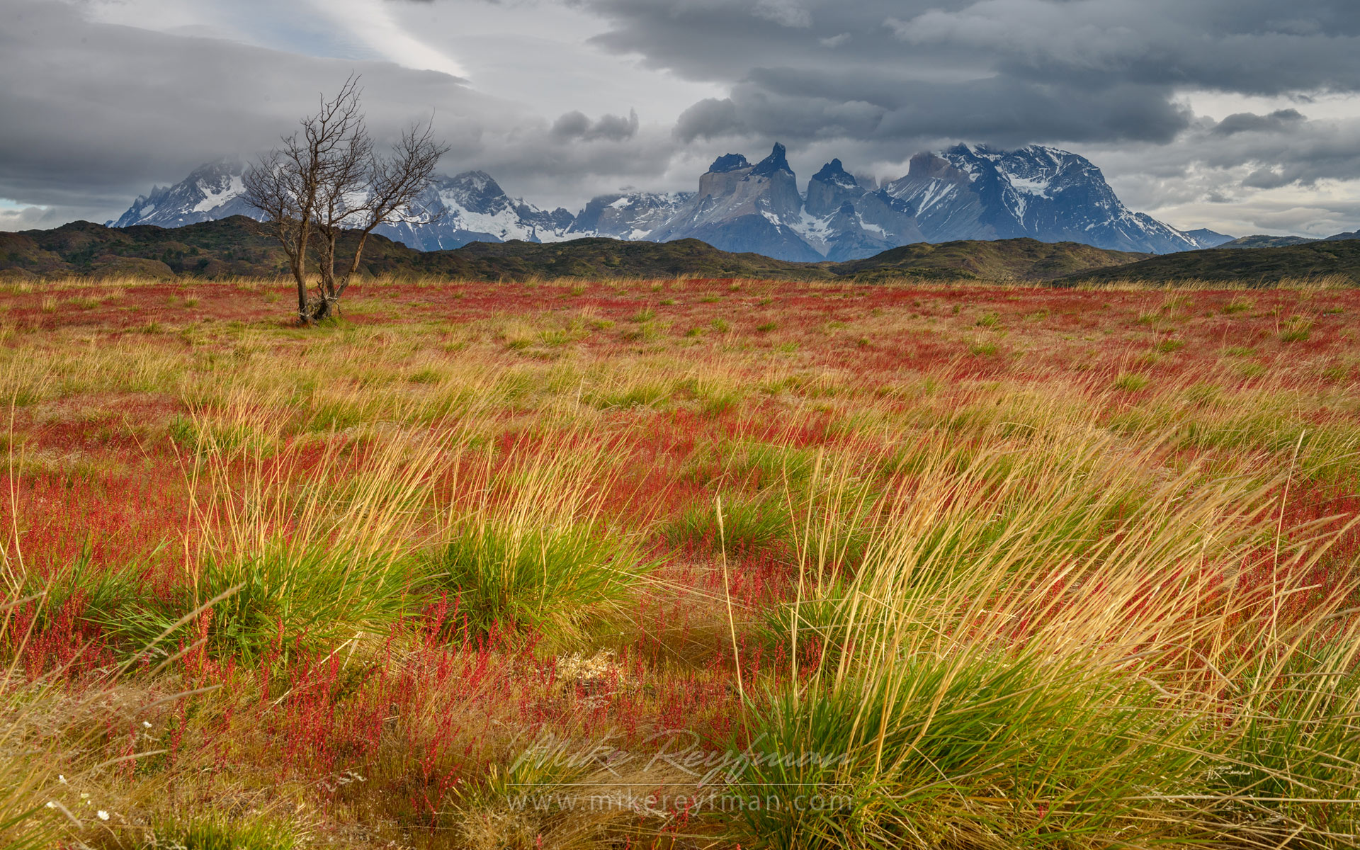 Bella Patagonia. Red Sorrel covered Patagonian Steppes with lonely Antarctic Beech tree and Cordillera del Paine on the background. Torres del Paine National Park, Patagonia, Chile. - Torres-Del-Paine-National-Park-Patagonia-Chile - Mike Reyfman Photography