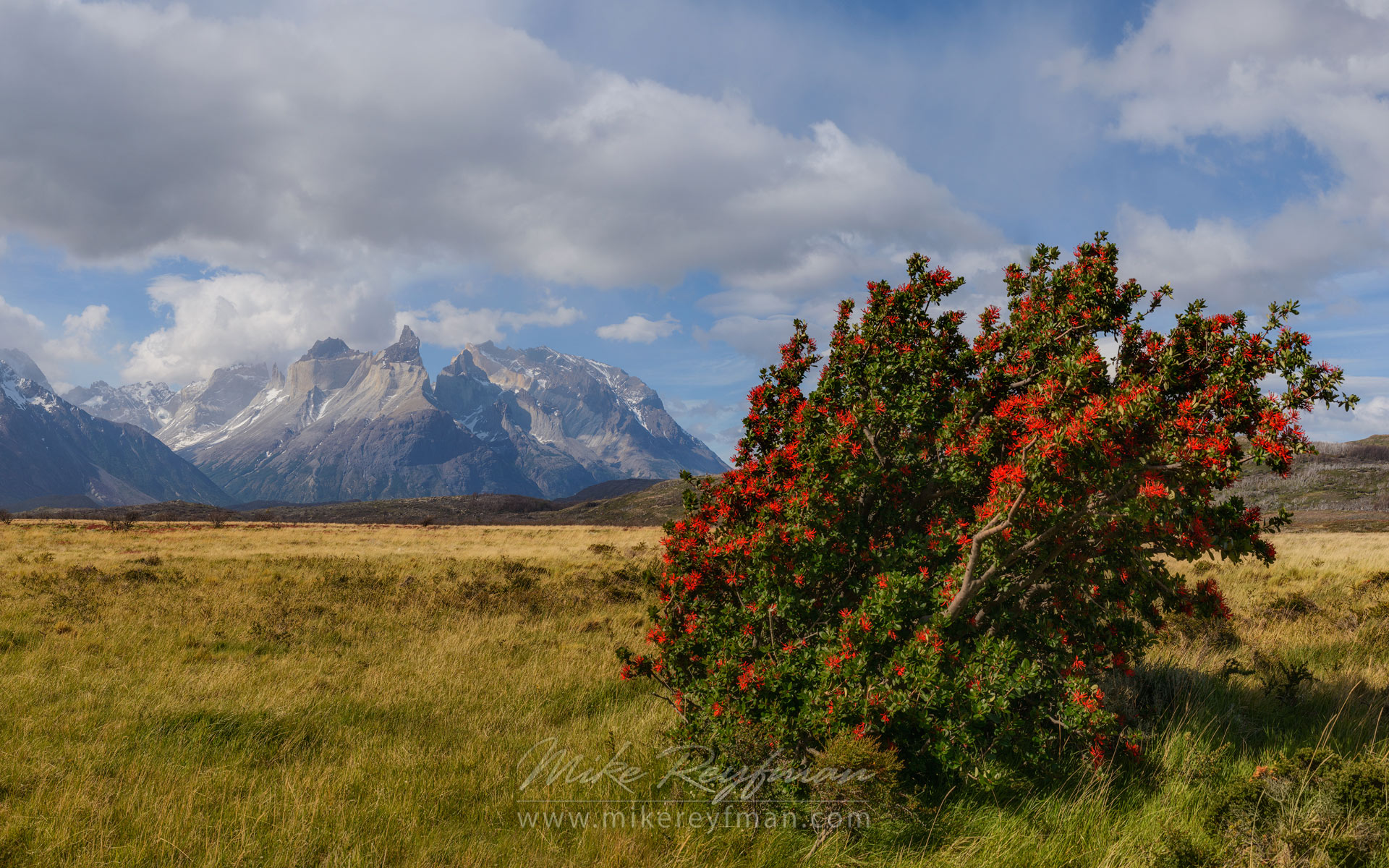 Patagonian Steppes. Fire Bush (Hamelia patens) with Cordillera del Paine on the background. Torres del Paine National Park, Ultima Esperanza Province, Magallanes and Antartica Chilena Region XII, Patagonia, Chile. - Torres-Del-Paine-National-Park-Patagonia-Chile - Mike Reyfman Photography