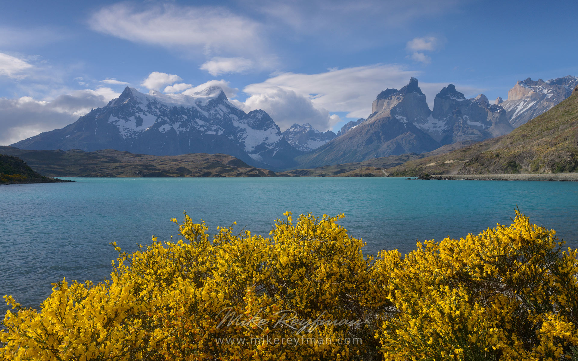 Yellow Retama broom bushes and turquoise waters of Lago Pehoe with Cerro Paine Grande and Cuernos del Paine on the background. Torres del Paine National Park, Patagonia, Chile.  - Torres-Del-Paine-National-Park-Patagonia-Chile - Mike Reyfman Photography