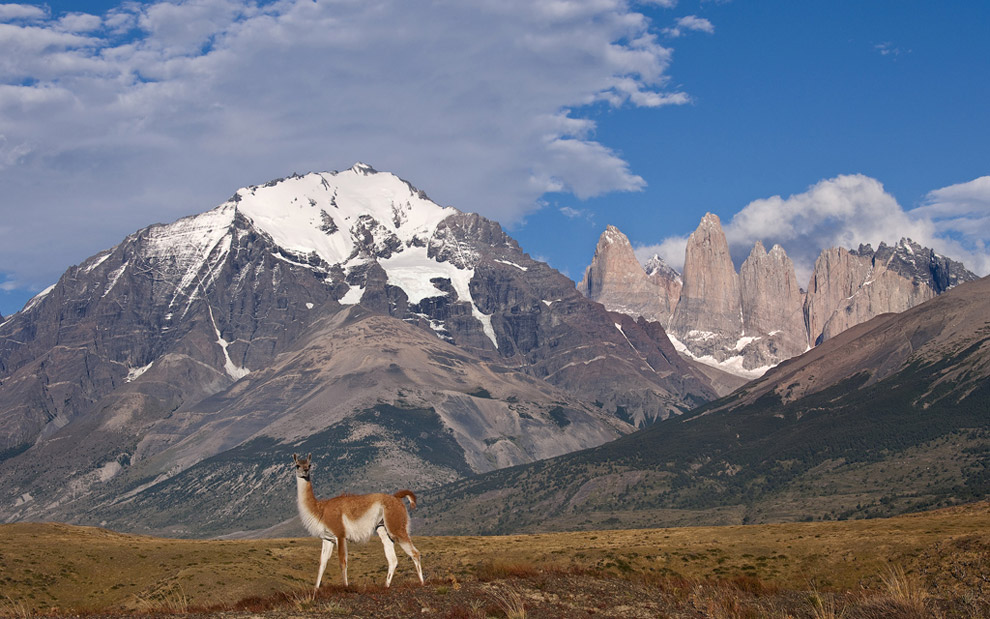 The local. Guanaco on the background of Towers of Paine. Torres del Paine National Park, Patagonia, Chile.