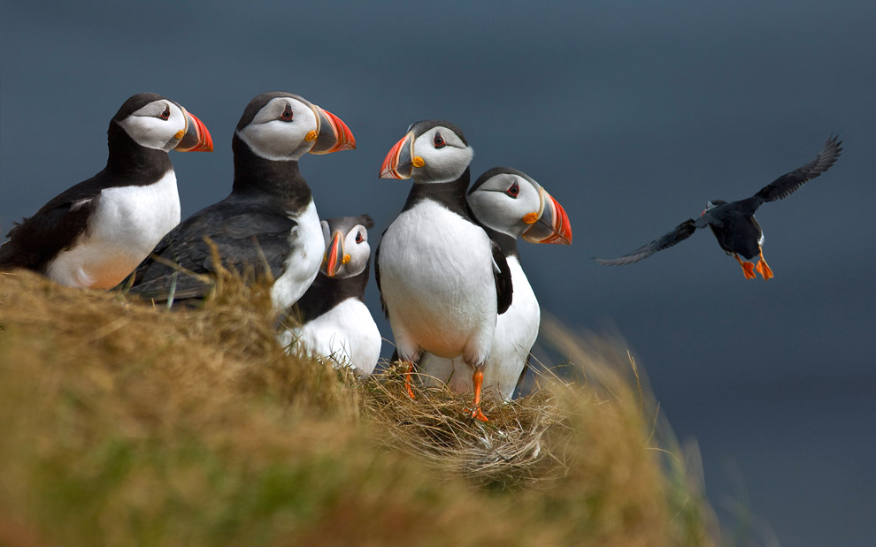 Sirs Puffins. Atlantic Puffins (Fratercula arctica). Dyrholaey, Iceland.  - Gallery-2 - Mike Reyfman Photography