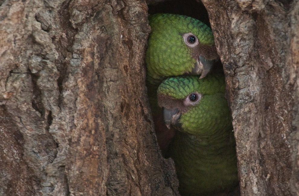 Curiosity. Nestling austral conures in a tree hollow. Torres del Paine National Park, Patagonia, Chile.  - Gallery-2 - Mike Reyfman Photography