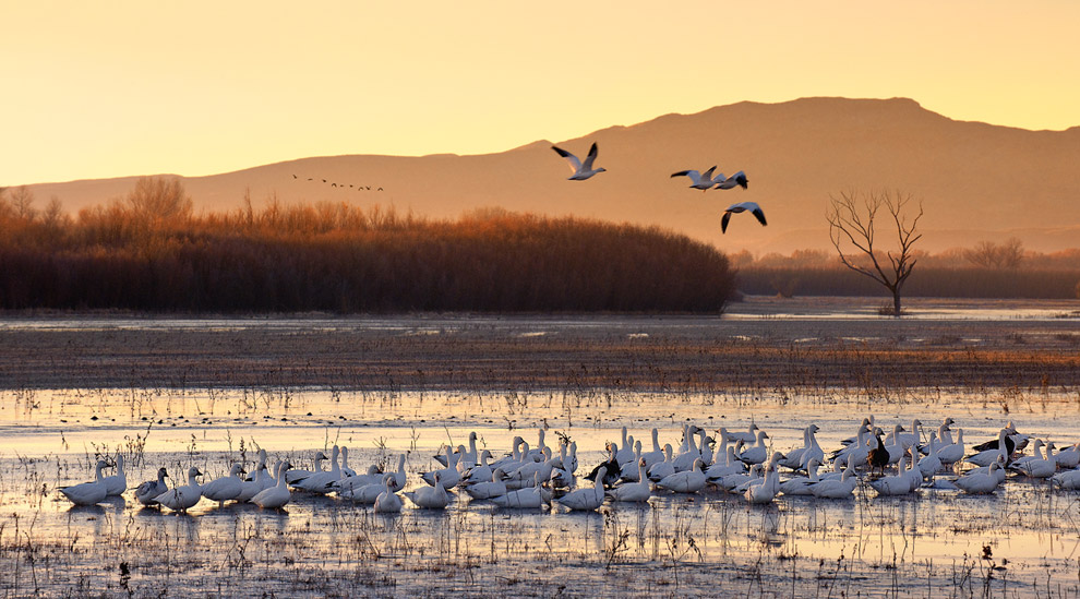New Day Begins... Snow Geese. Bosque Del Apache, New Mexico NWR, USA.  - Gallery-2 - Mike Reyfman Photography