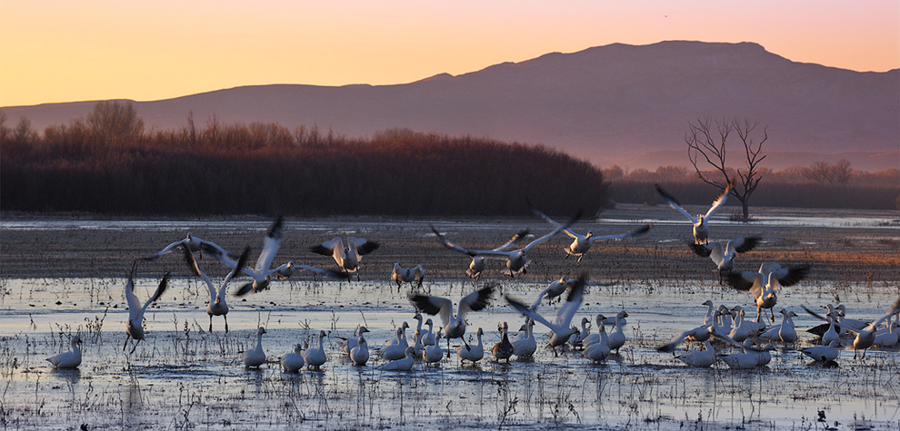 Snow Geese Takeoff. Bosque Del Apache, New Mexico NWR, USA.