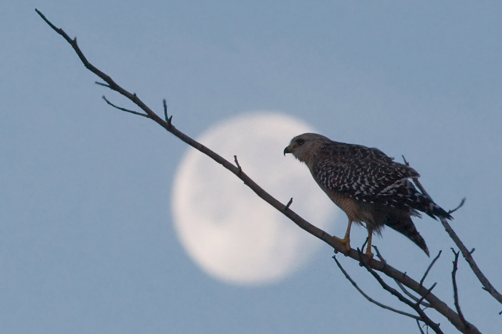 Hawk & Moon. Ding Darling NWR, Sanibel Island, Florida, USA.