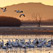 New Day Begins... Snow Geese. Bosque Del Apache, New Mexico NWR, USA.