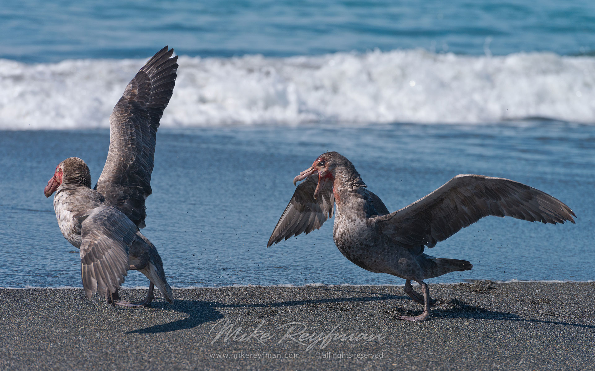 Antarctic Giant Petrels (Macronectes giganteus) fighting on  St. Andrews Bay, South Georgia, Sub-Antarctic. - Albatrosses-Petrels-Landscapes-South-Georgia-Sub-Antarctic - Mike Reyfman Photography
