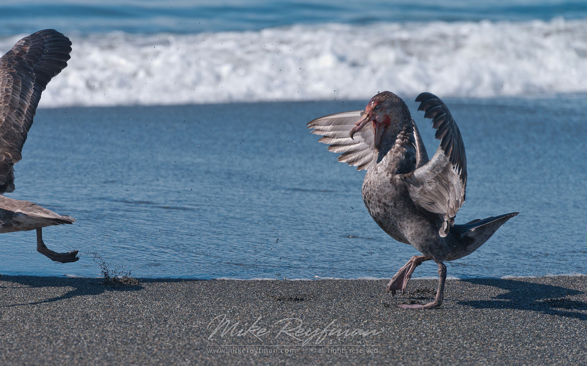 Beachmaster. Antarctic Giant Petrel (Macronectes giganteus). St. Andrews Bay, South Georgia, Sub-Antarctic. - Albatrosses-Petrels-Landscapes-South-Georgia-Sub-Antarctic - Mike Reyfman Photography
