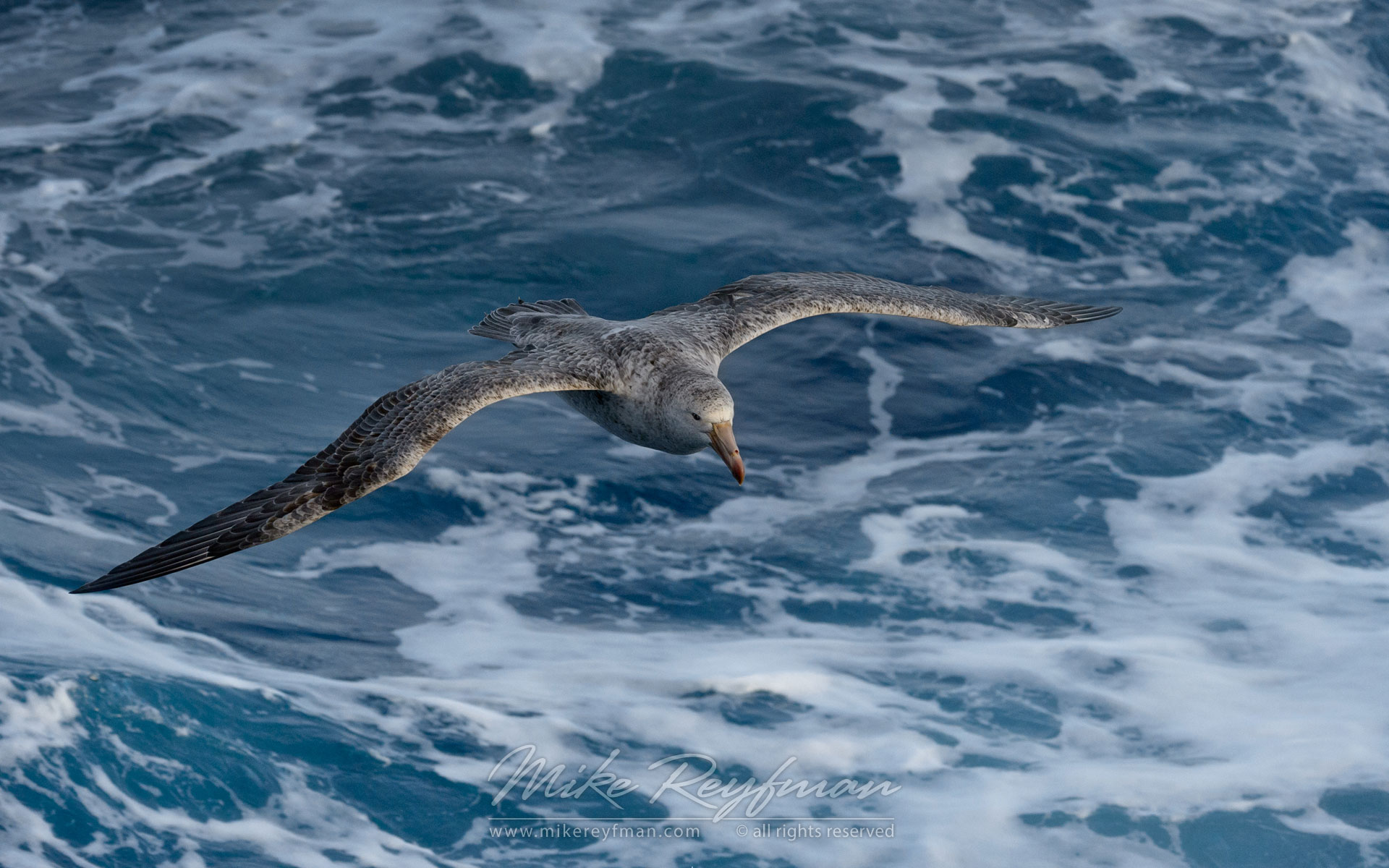 Antarctic Giant Petrel (Macronectes giganteus) in flight. - Albatrosses-Petrels-Landscapes-South-Georgia-Sub-Antarctic - Mike Reyfman Photography