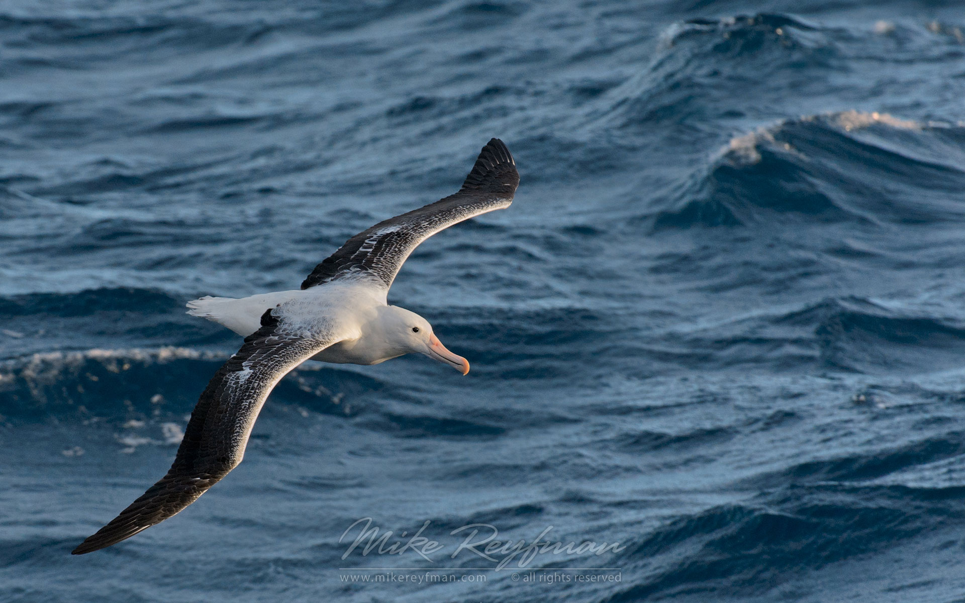 Wandering Albatross (Diomedea exulans) in flight. - Albatrosses-Petrels-Landscapes-South-Georgia-Sub-Antarctic - Mike Reyfman Photography