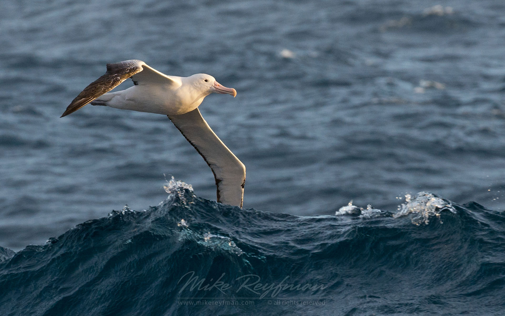 Wandering Albatross (Diomedea exulans) in flight over waves. - Albatrosses-Petrels-Landscapes-South-Georgia-Sub-Antarctic - Mike Reyfman Photography