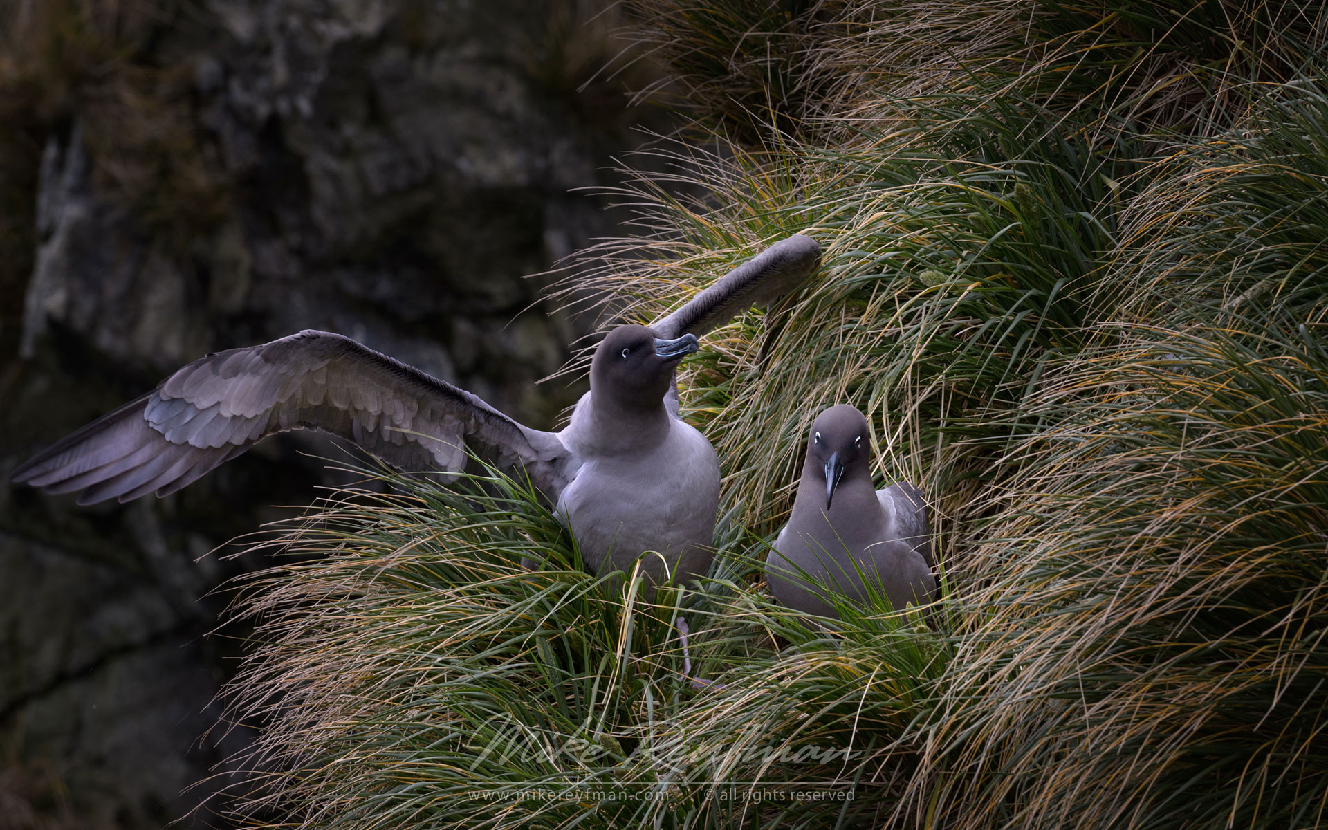 Courtship. Light Mantled Sooty Albatrosses  (Phoebetria palpebrata). Elsehul, Paryadin Peninsula, South Georgia, Sub Antarctic. - Albatrosses-Petrels-Landscapes-South-Georgia-Sub-Antarctic - Mike Reyfman Photography