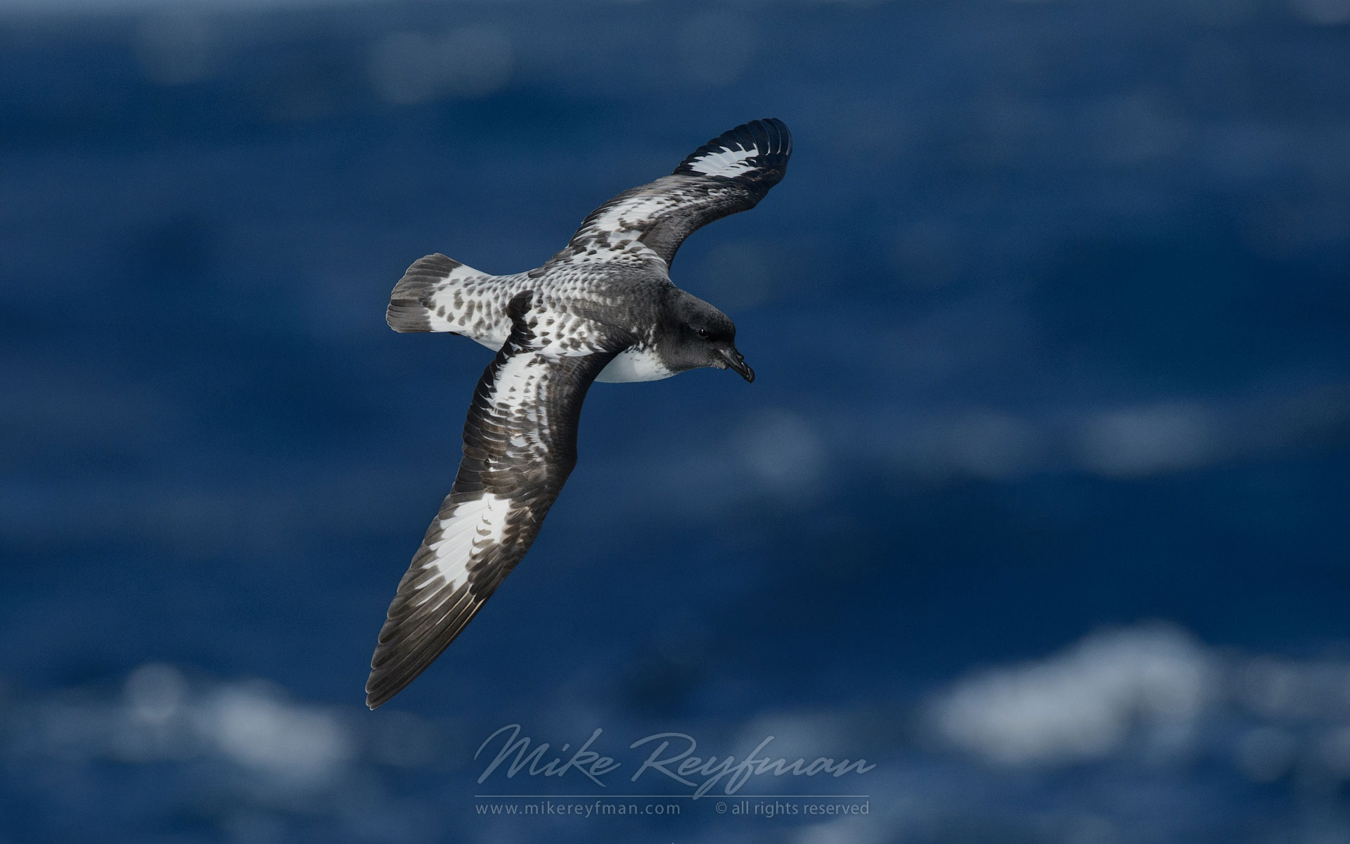 Cape Petrel (Daption capense) in flight. South Georgia, Sub Antarctic. - Albatrosses-Petrels-Landscapes-South-Georgia-Sub-Antarctic - Mike Reyfman Photography