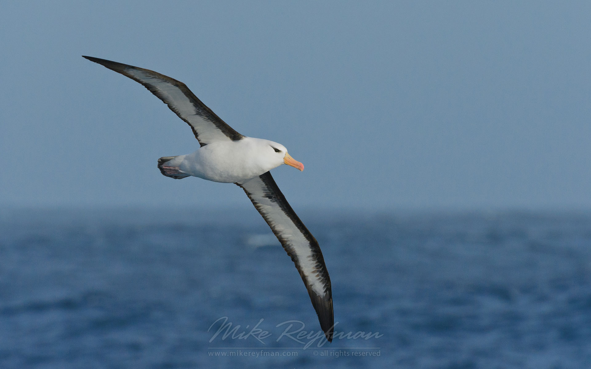 Black-browed Albatross (Thalassarche melanophrys) in flight. - Albatrosses-Petrels-Landscapes-South-Georgia-Sub-Antarctic - Mike Reyfman Photography