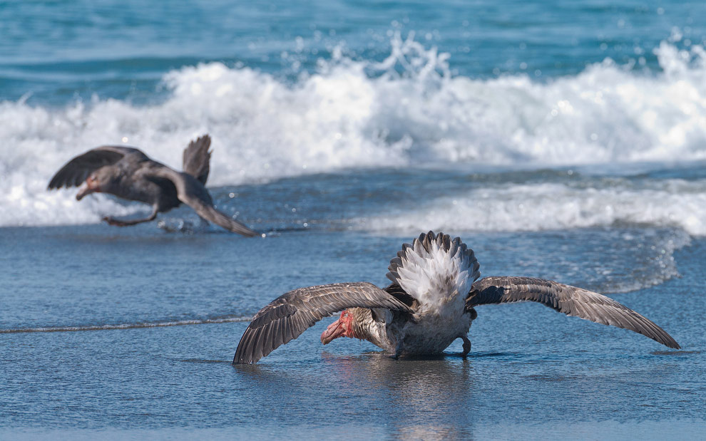 Antarctic Giant Petrels (Macronectes giganteus) fighting on  St. Andrews Bay, South Georgia, Sub-Antarctic.