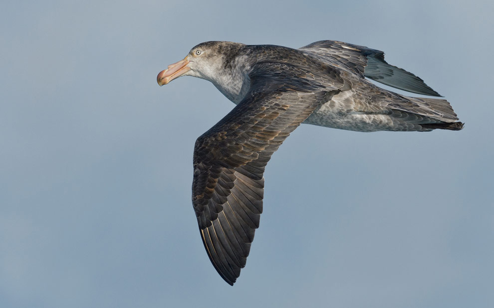 Antarctic Giant Petrel (Macronectes giganteus) in flight.
