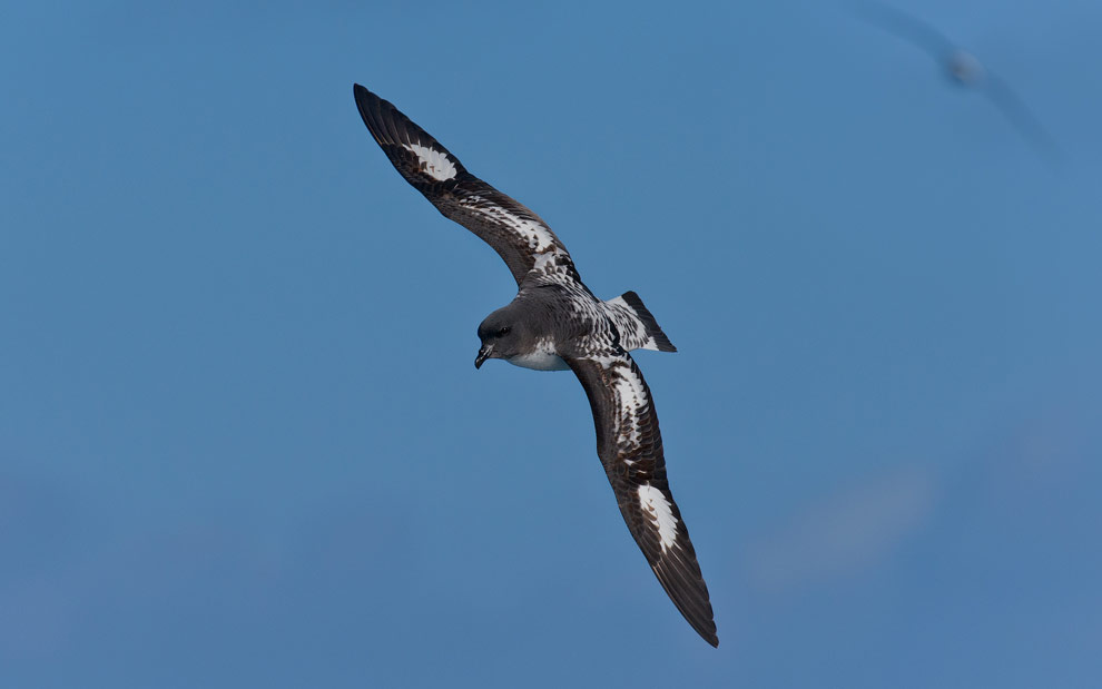 Cape Petrel (Daption capense) in flight. South Georgia, Sub Antarctic.