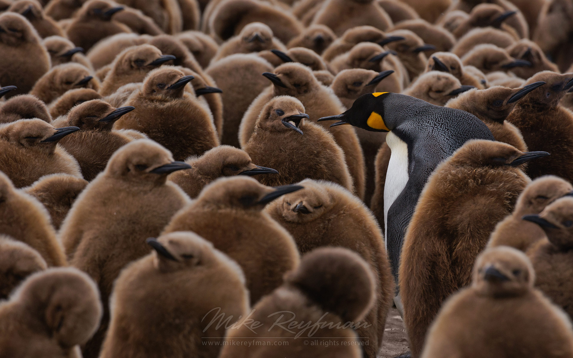 Adult King Penguin (Aptenodytes patagonicus) walking among youngsters and looking for its chick to feed it. King Penguin Creche. Salisbury Plain, South Georgia, Sub-Antarctic - King-Penguin-Chicks-In-Creche-South-Georgia-Sub-Antarctic - Mike Reyfman Photography