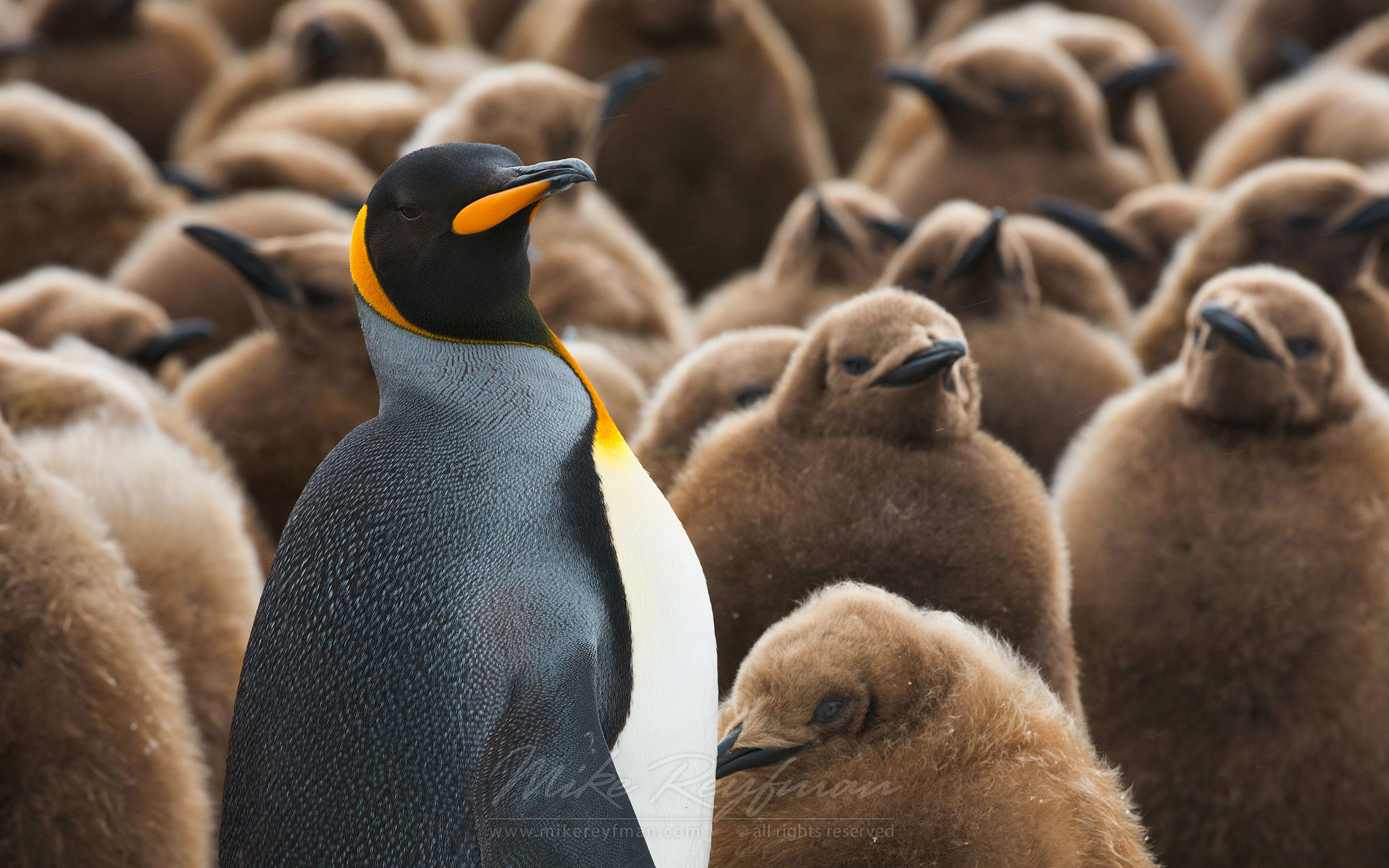 Adult King Penguin (Aptenodytes patagonicus) and chicks. King Penguin Creche. Salisbury Plain, South Georgia, Sub-Antarctic - King-Penguin-Chicks-In-Creche-South-Georgia-Sub-Antarctic - Mike Reyfman Photography