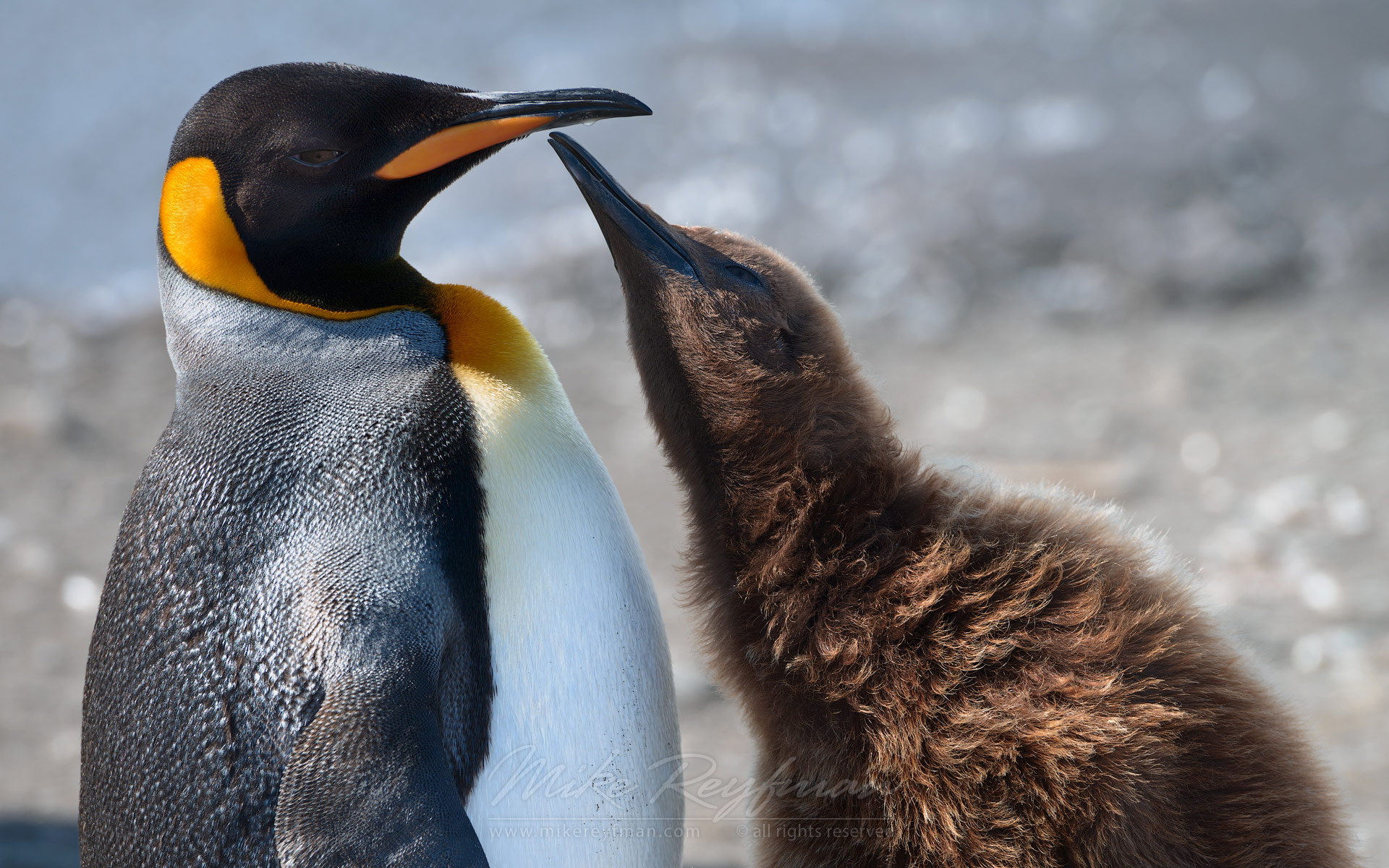Adult King Penguin (Aptenodytes patagonicus) and chick. King Penguin Creche. Salisbury Plain, South Georgia, Sub-Antarctic - King-Penguin-Chicks-In-Creche-South-Georgia-Sub-Antarctic - Mike Reyfman Photography