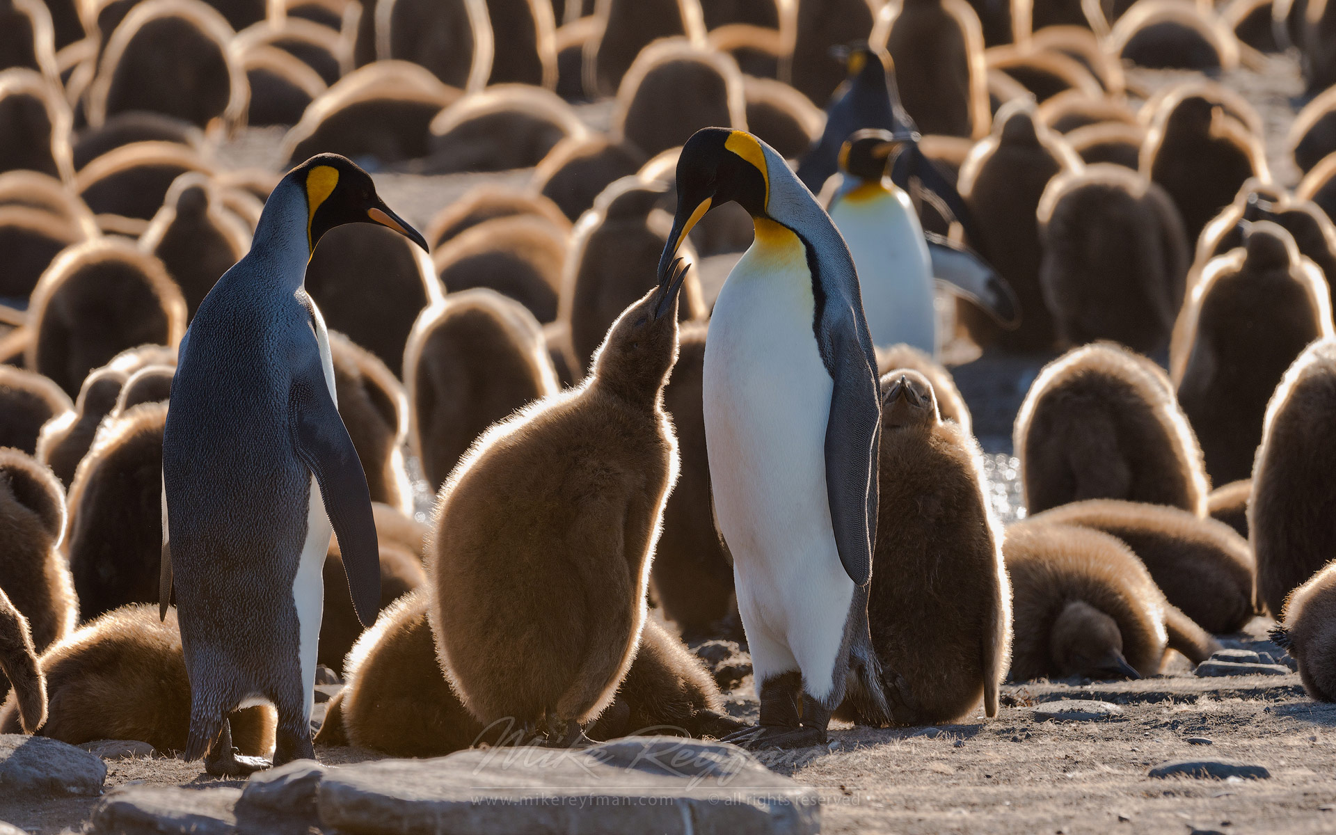 King Penguin (Aptenodytes patagonicus) Creche. Saint Andrews Bay, South Georgia, Sub-Antarctic - King-Penguin-Chicks-In-Creche-South-Georgia-Sub-Antarctic - Mike Reyfman Photography