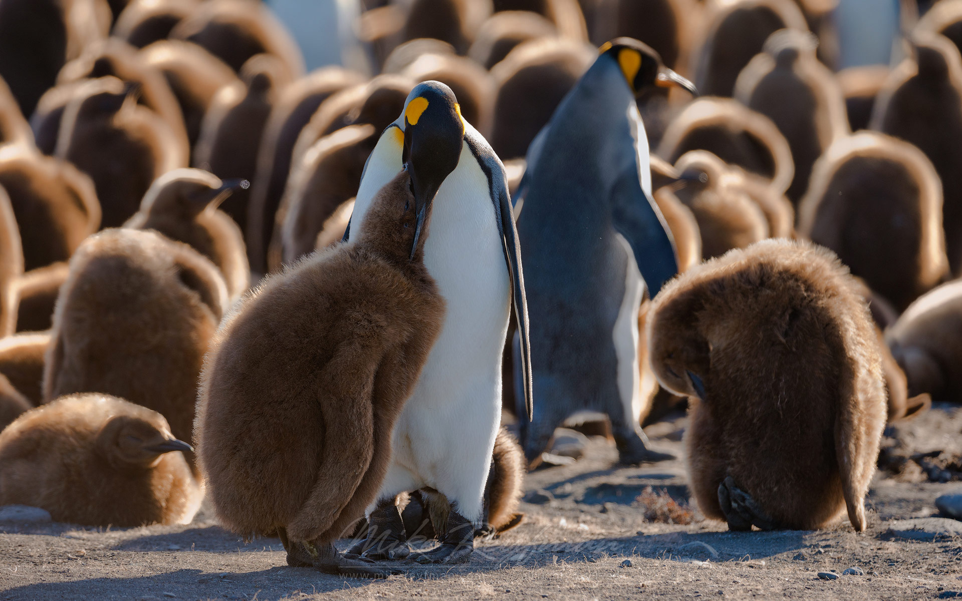 King Penguin feeds chick. King Penguin Creche. Saint Andrews Bay, South Georgia, Sub-Antarctic - King-Penguin-Chicks-In-Creche-South-Georgia-Sub-Antarctic - Mike Reyfman Photography