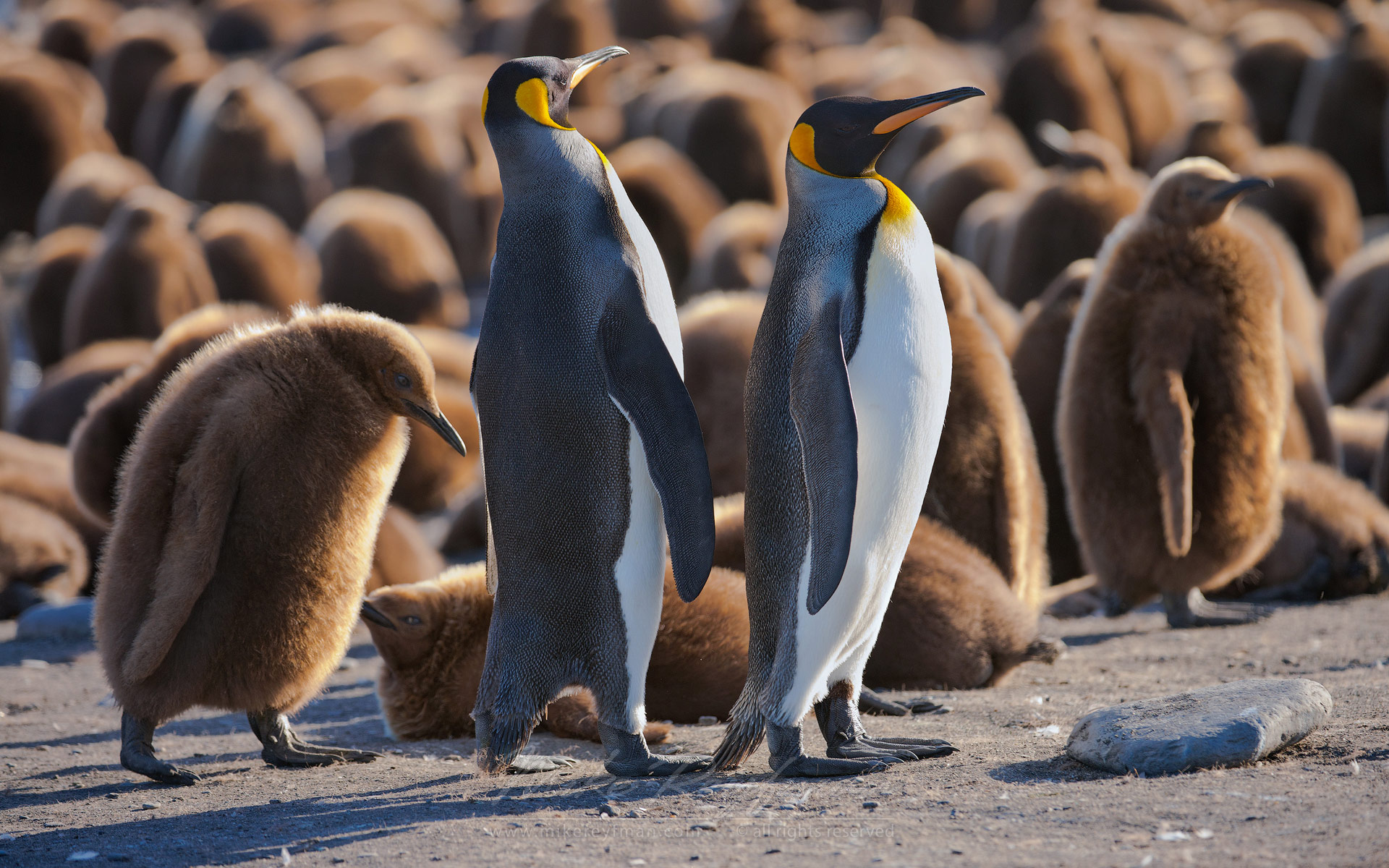 Stray Chick. King Penguin (Aptenodytes patagonicus) Creche. Saint Andrew's Bay, South Georgia, Sub-Antarctic - King-Penguin-Chicks-In-Creche-South-Georgia-Sub-Antarctic - Mike Reyfman Photography