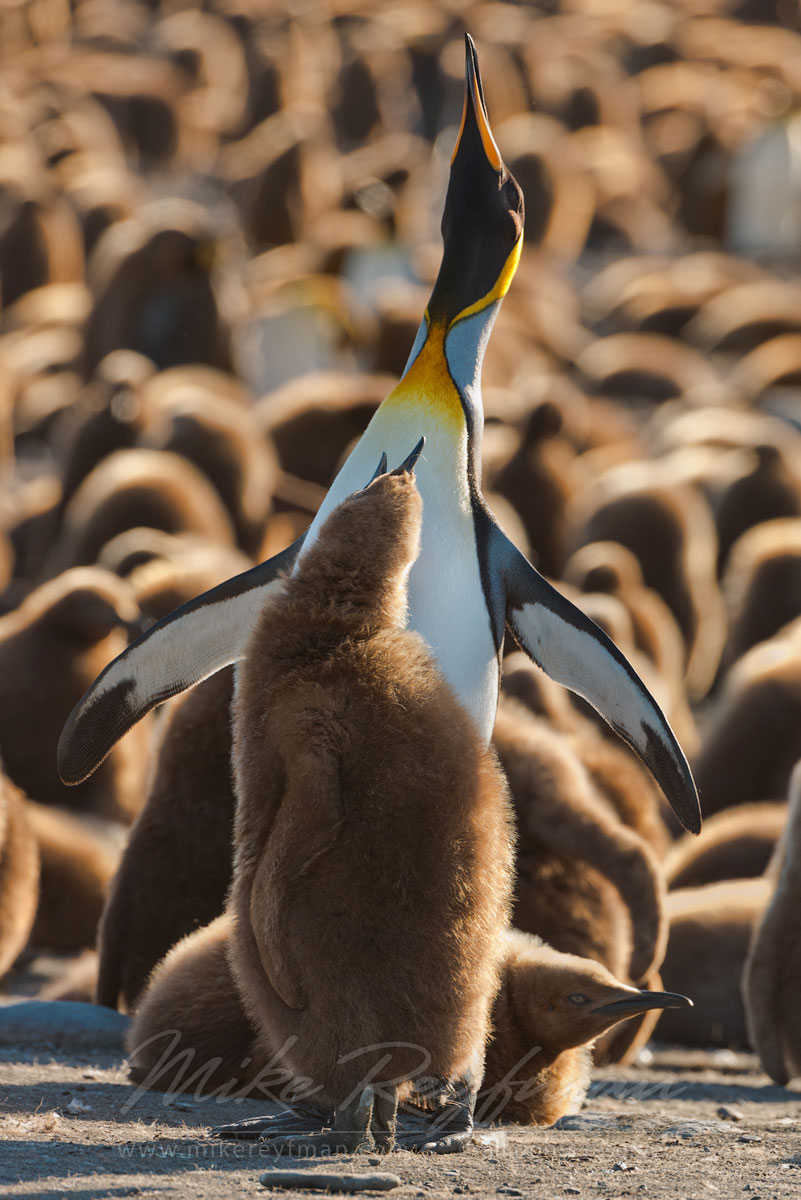 Duo. Adult King Penguin (Aptenodytes patagonicus) and chick. King Penguin Creche. Saint Andrew's Bay, South Georgia, Sub-Antarctic - King-Penguin-Chicks-In-Creche-South-Georgia-Sub-Antarctic - Mike Reyfman Photography
