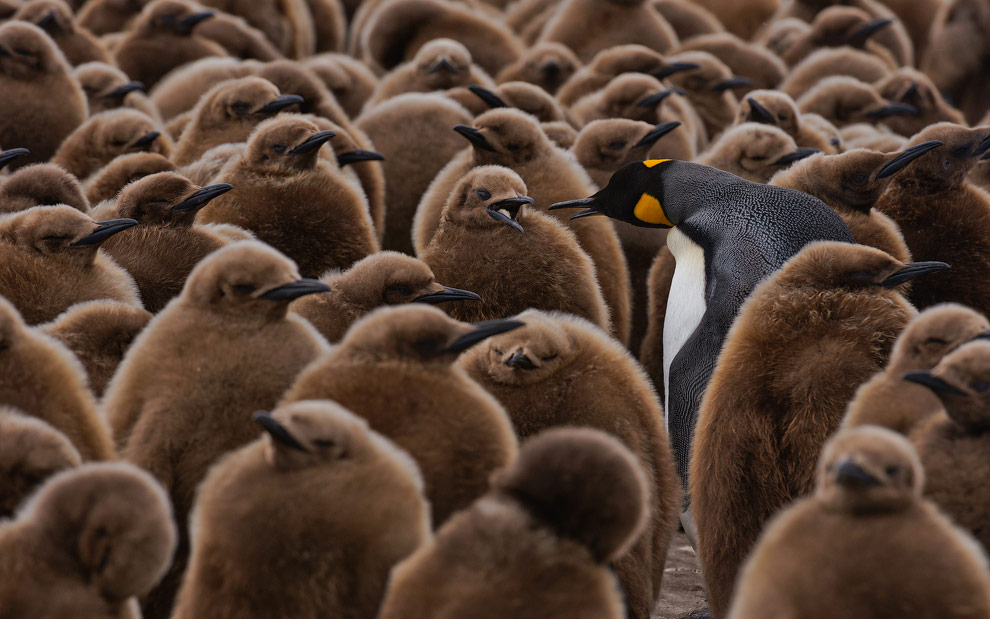 Adult King Penguin (Aptenodytes patagonicus) walking among youngsters and looking for its chick to feed it. King Penguin Creche. Salisbury Plain, South Georgia, Sub-Antarctic