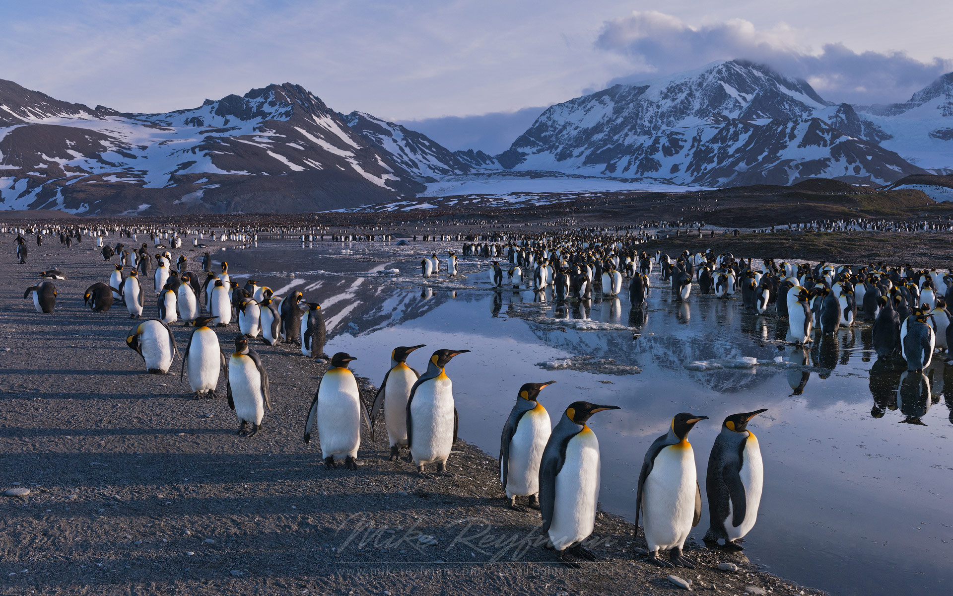 Evening With The Kings. King Penguin (Aptenodytes patagonicus) Colony, Saint Andrews Bay, South Georgia, Sub-Antarctic - King-Penguins-South-Georgia-Sub-Antarctic - Mike Reyfman Photography