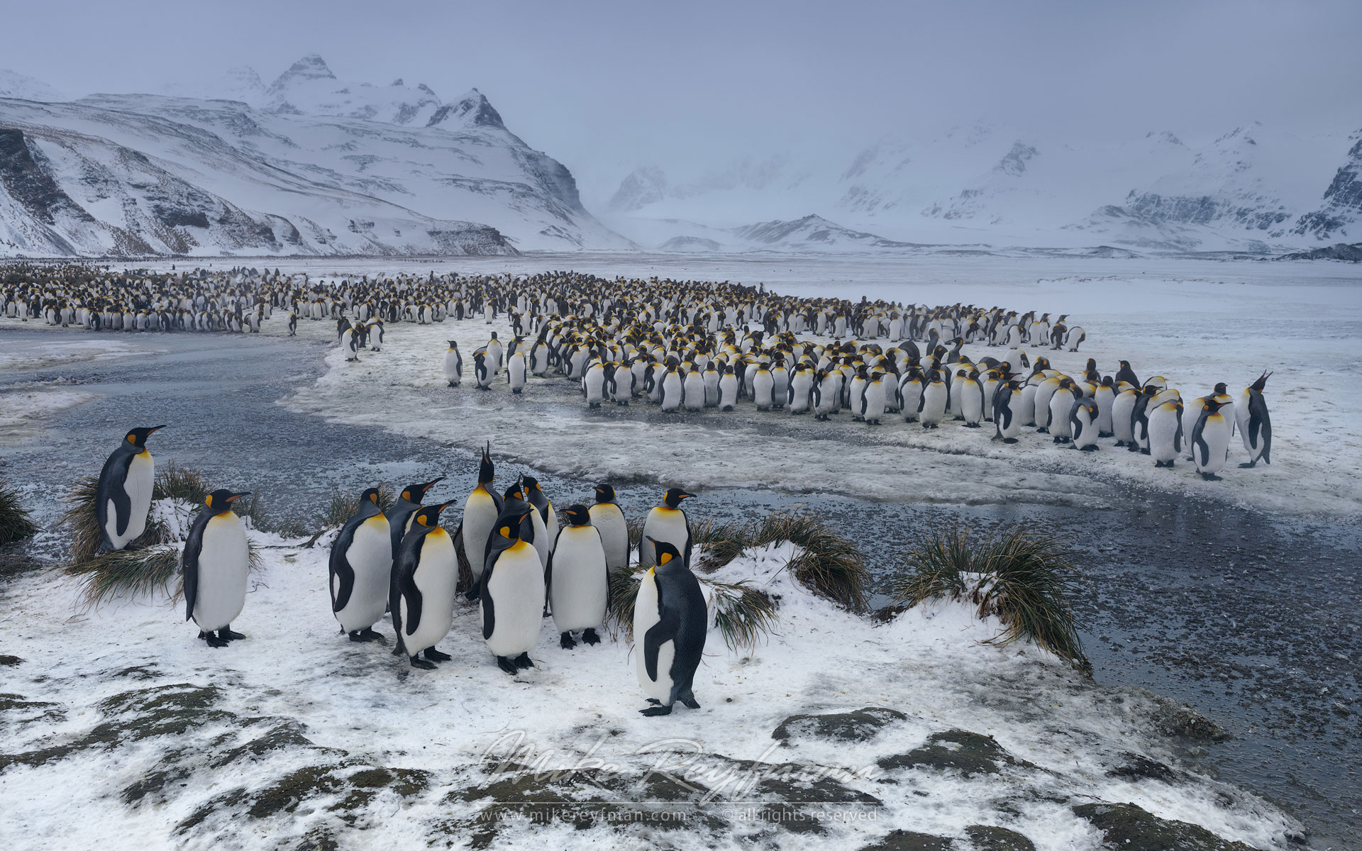 Terra Penguinia. King Penguin (Aptenodytes patagonicus) Colony, Salisbury Plain, South Georgia, Sub-Antarctic - King-Penguins-South-Georgia-Sub-Antarctic - Mike Reyfman Photography