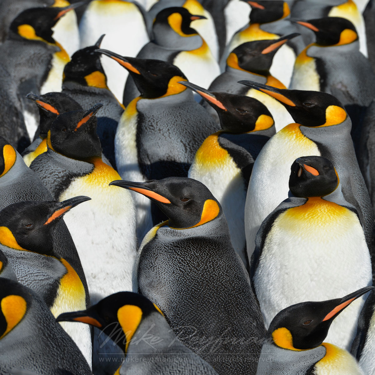 King Penguin (Aptenodytes patagonicus) Colony, Salisbury Plain, South Georgia, Sub-Antarctic - King-Penguins-South-Georgia-Sub-Antarctic - Mike Reyfman Photography