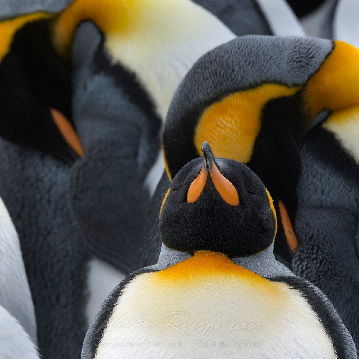 King and Cortege. King Penguins (Aptenodytes patagonicus), Salisbury Plain, South Georgia, Sub-Antarctic - King-Penguins-South-Georgia-Sub-Antarctic - Mike Reyfman Photography