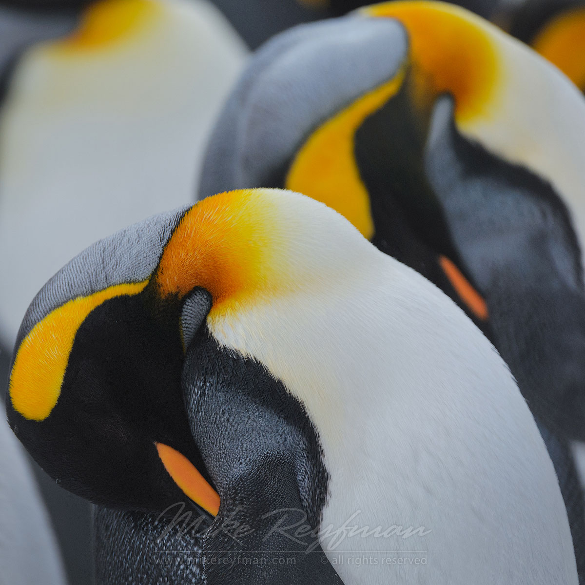 Penguino-Graphics. King Penguins (Aptenodytes patagonicus), Salisbury Plain, South Georgia, Sub-Antarctic - King-Penguins-South-Georgia-Sub-Antarctic - Mike Reyfman Photography