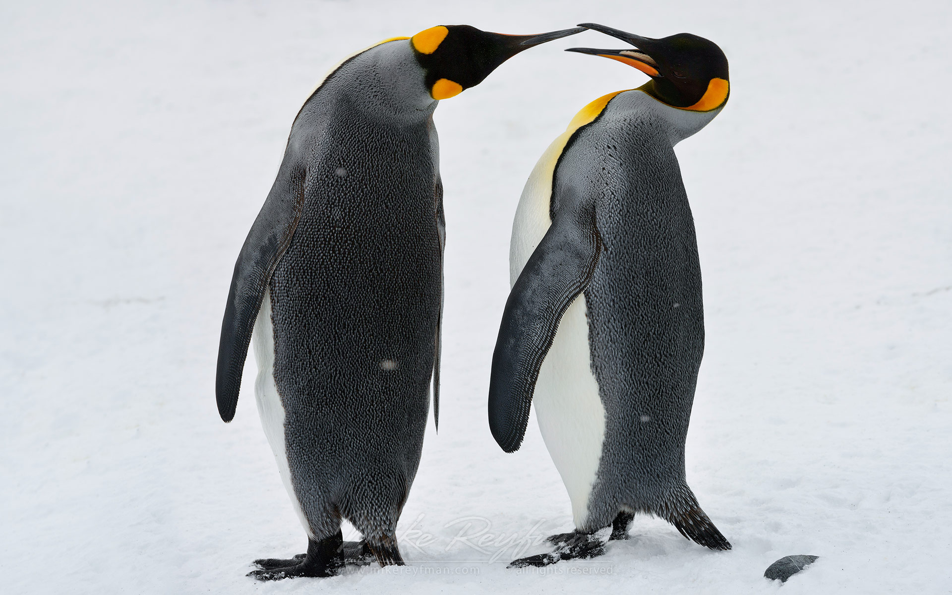 King Penguins (Aptenodytes patagonicus), Salisbury Plain, South Georgia, Sub-Antarctic - King-Penguins-South-Georgia-Sub-Antarctic - Mike Reyfman Photography