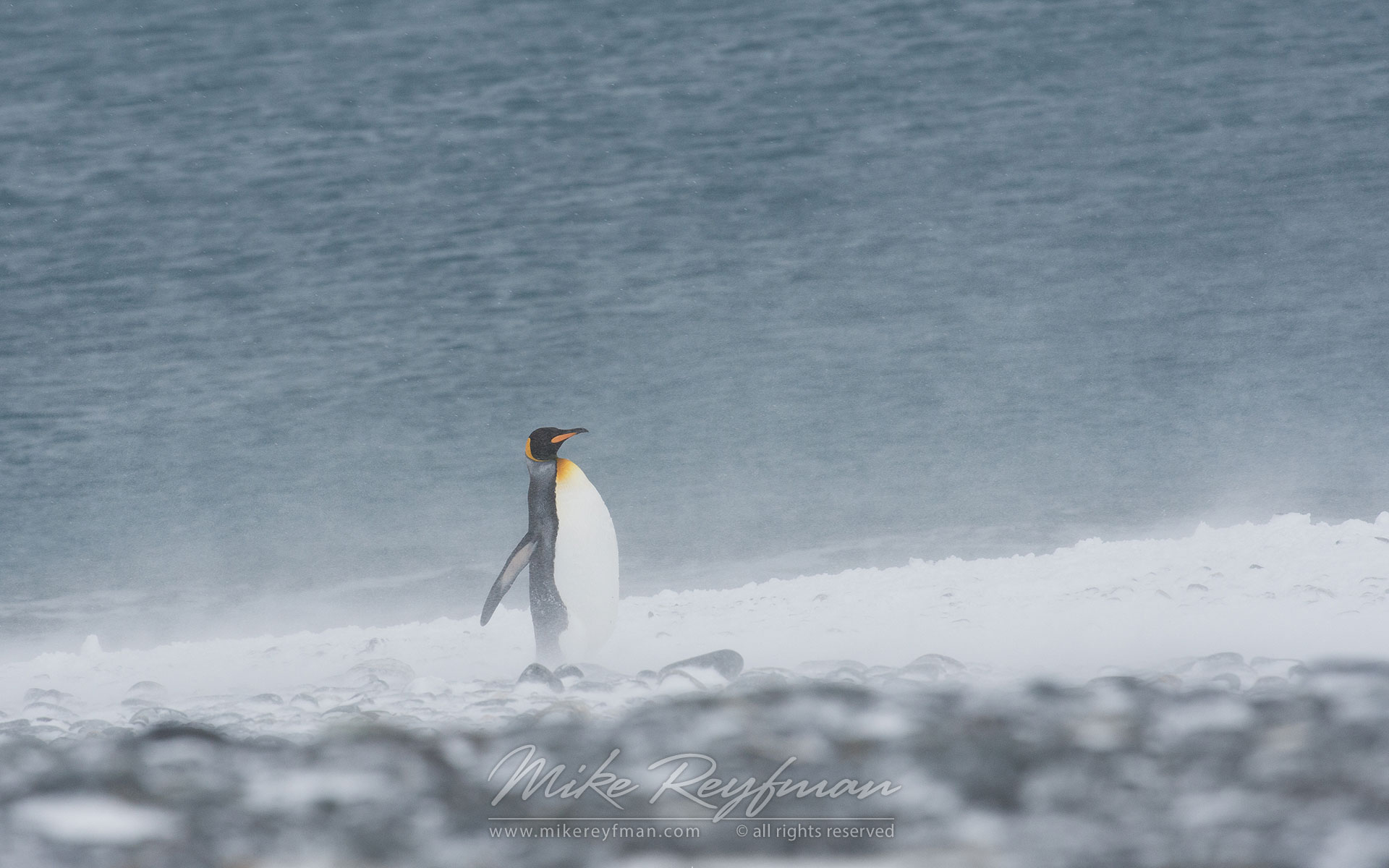 Snow King. King Penguin (Aptenodytes patagonicus) fighting with elements., Salisbury Plain, South Georgia, Sub-Antarctic - King-Penguins-South-Georgia-Sub-Antarctic - Mike Reyfman Photography