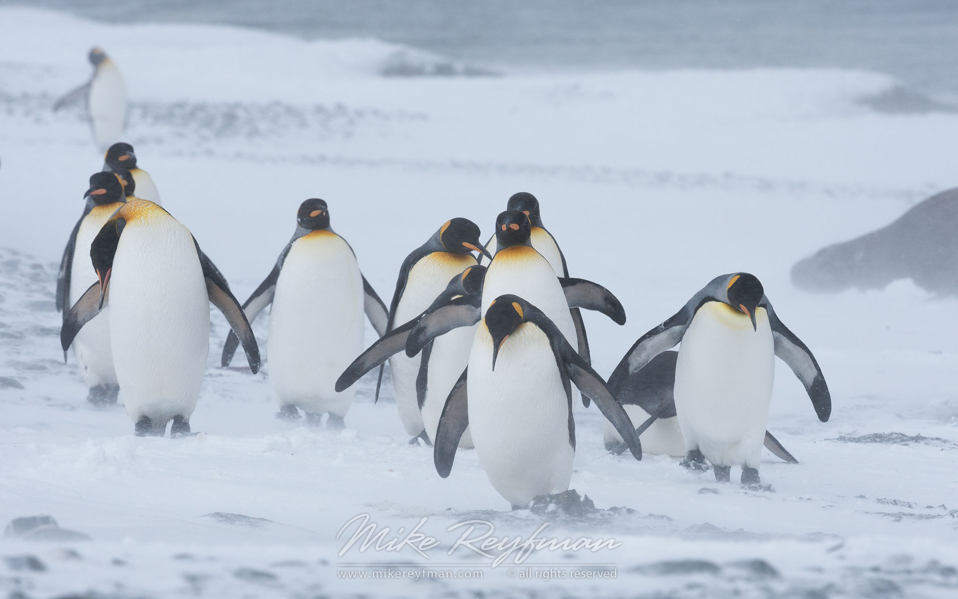 Snow Kings. King Penguins (Aptenodytes patagonicus) fighting with elements. Salisbury Plain, South Georgia, Sub-Antarctic - King-Penguins-South-Georgia-Sub-Antarctic - Mike Reyfman Photography
