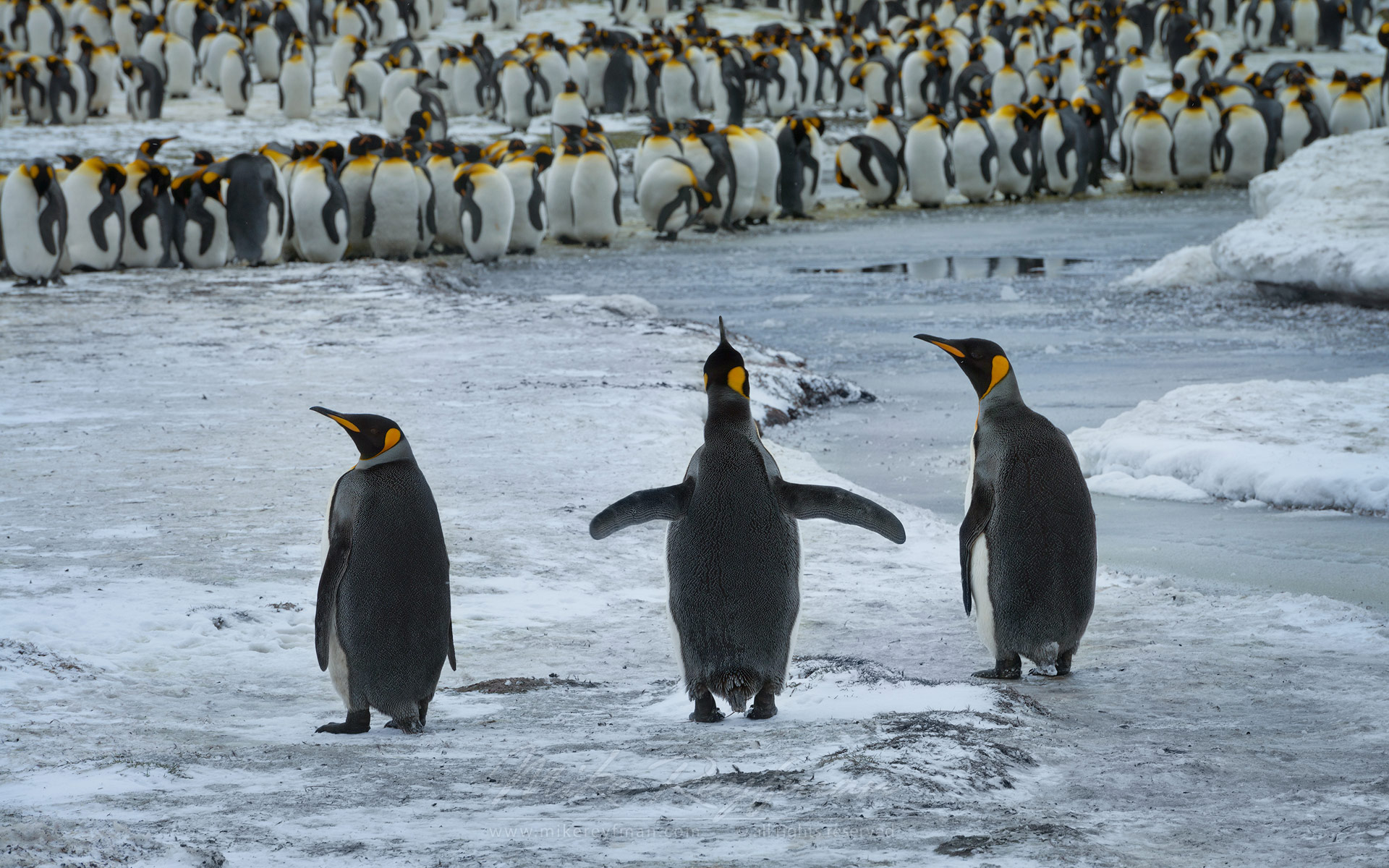 Kingsland. King Penguins (Aptenodytes patagonicus), Salisbury Plain, South Georgia, Sub-Antarctic - King-Penguins-South-Georgia-Sub-Antarctic - Mike Reyfman Photography