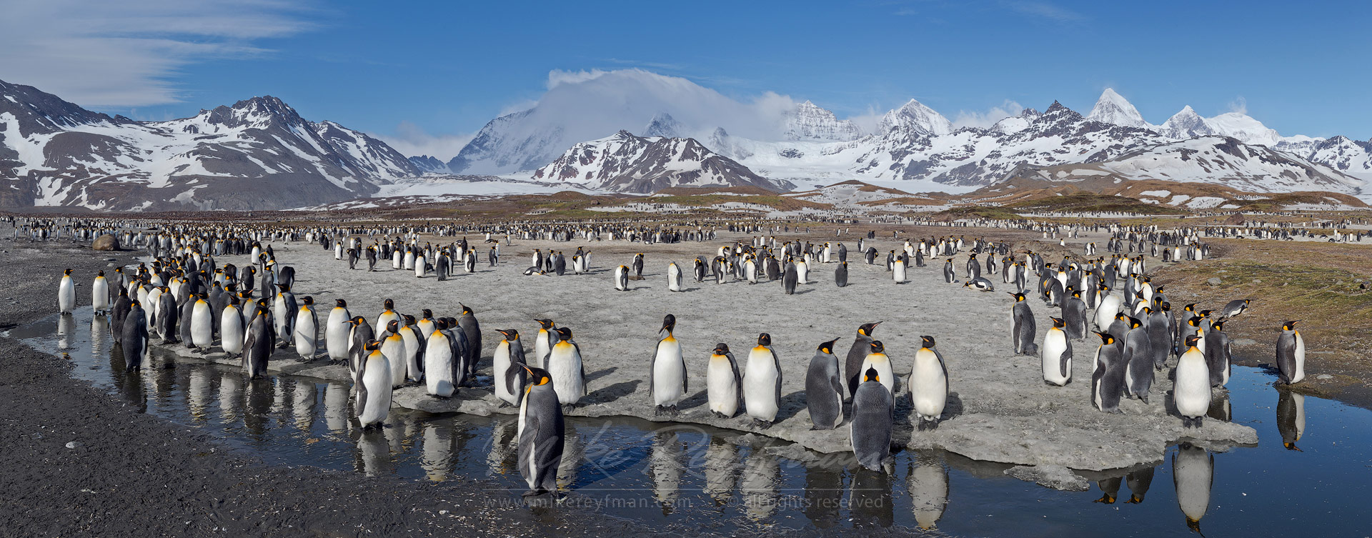 Terra Penguinia. King Penguin (Aptenodytes patagonicus) Colony, Salisbury Plain, South Georgia, Sub-Antarctic. Panoramic - King-Penguins-South-Georgia-Sub-Antarctic - Mike Reyfman Photography