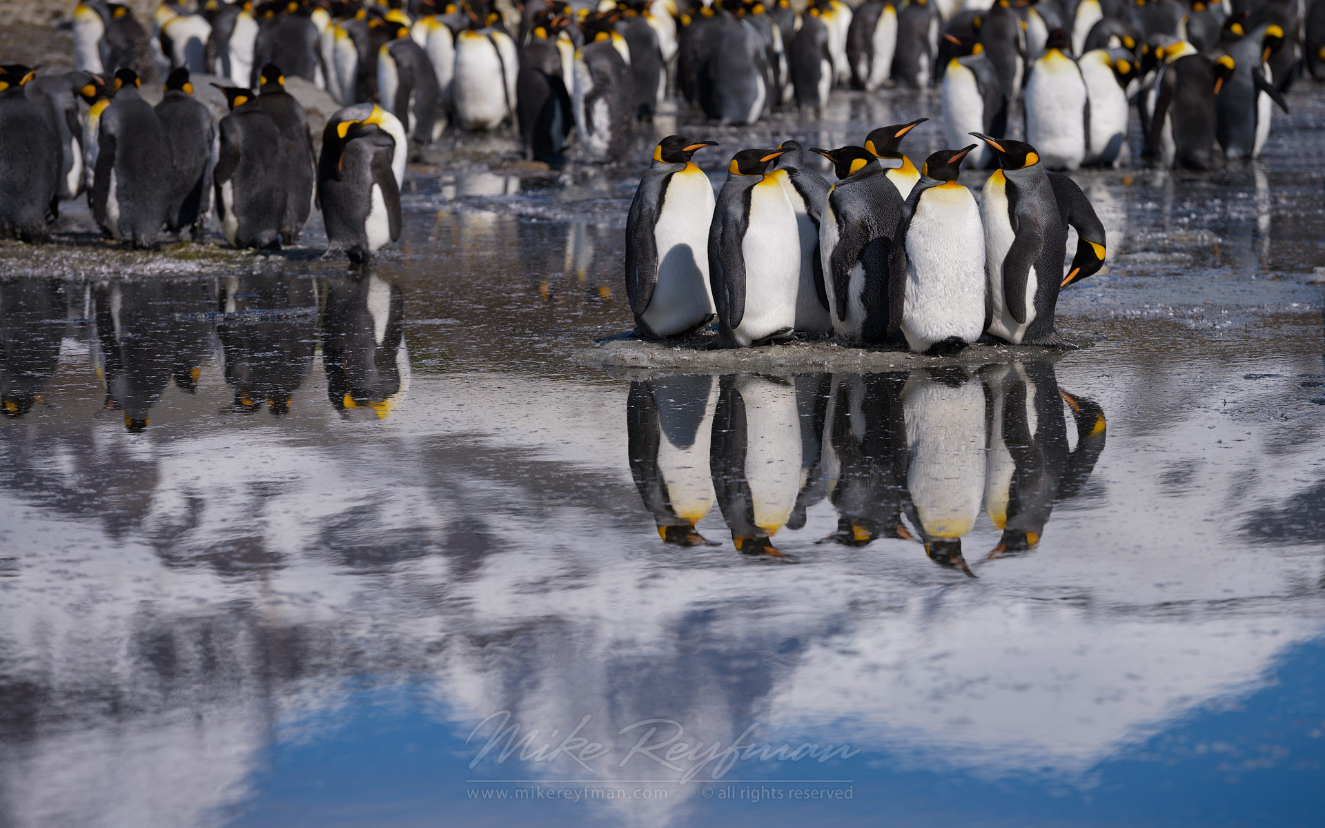 King Penguin (Aptenodytes patagonicus) Colony, Saint Andrew's Bay, South Georgia, Sub-Antarctic - King-Penguins-South-Georgia-Sub-Antarctic - Mike Reyfman Photography