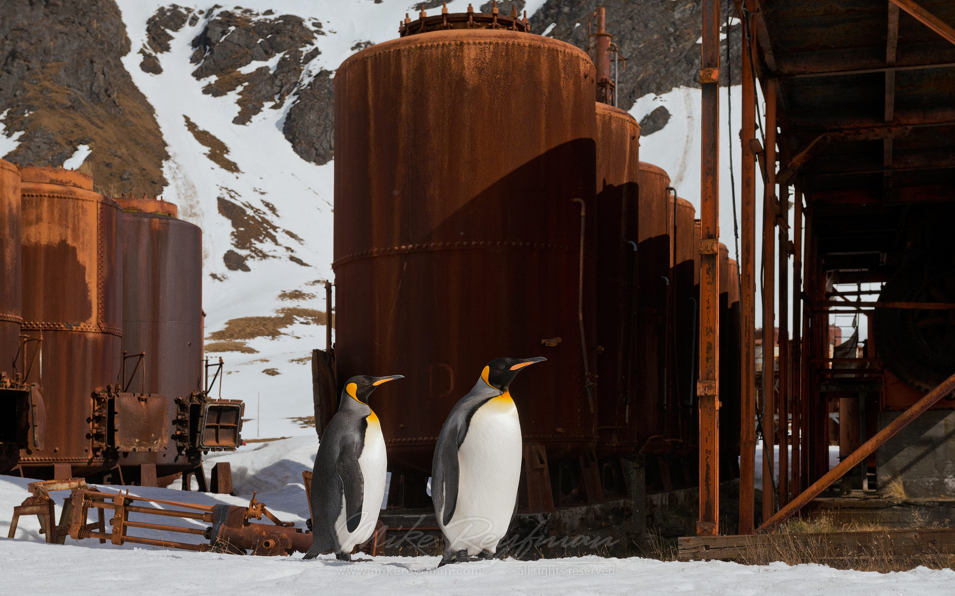 King Penguins (Aptenodytes patagonicus) exploring abandoned Grytviken Whaling Station. South Georgia, Sub-Antarctic - King-Penguins-South-Georgia-Sub-Antarctic - Mike Reyfman Photography