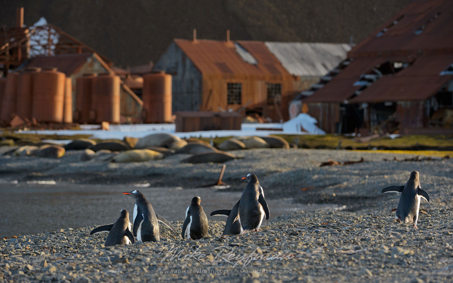Group of Gentoo Penguins (Pygoscelis papua) walking toward abandoned whaling station. Stromness Bay, South Georgia, Sub-Antarctic - King-Penguins-South-Georgia-Sub-Antarctic - Mike Reyfman Photography