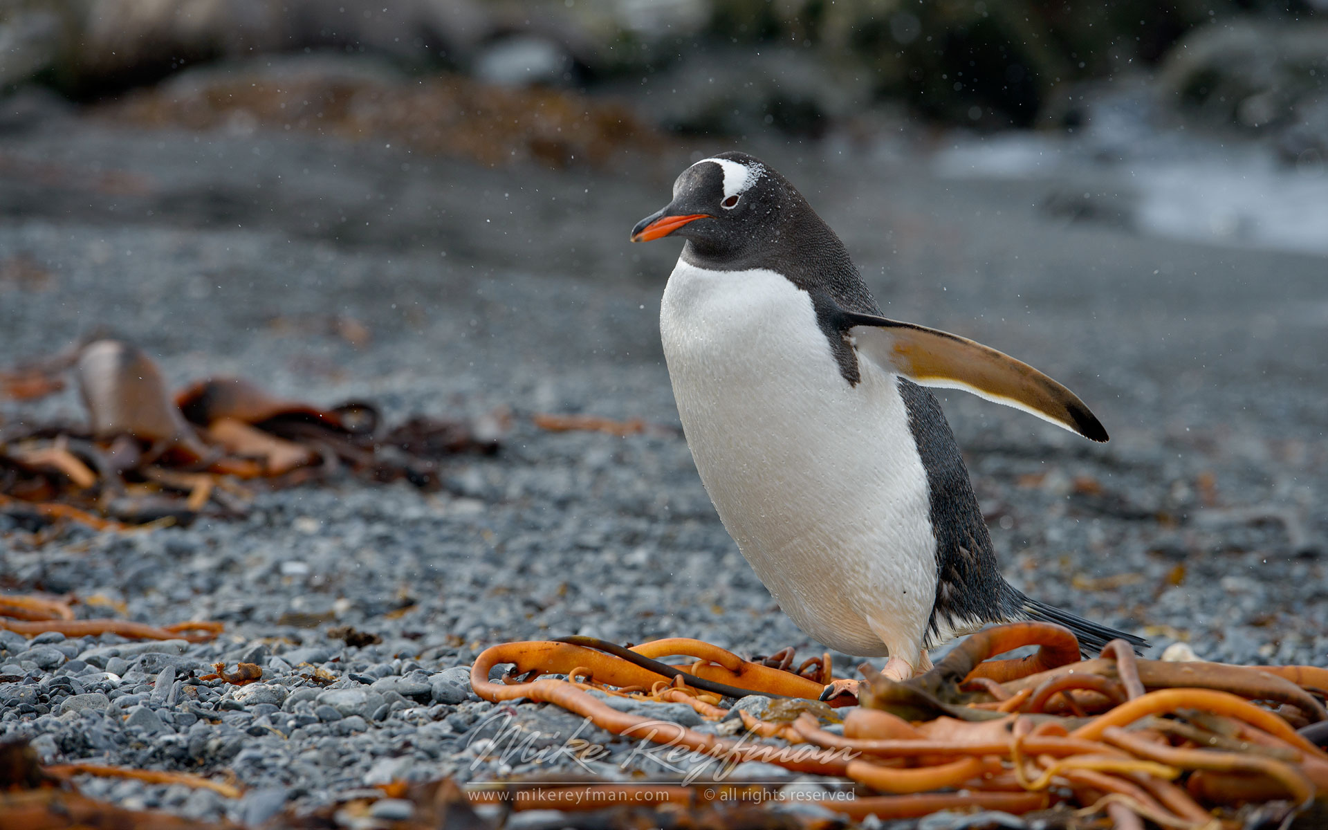 Gentoo Penguin (Pygoscelis papua). Prion Island, South Georgia, Sub-Antarctic - King-Penguins-South-Georgia-Sub-Antarctic - Mike Reyfman Photography