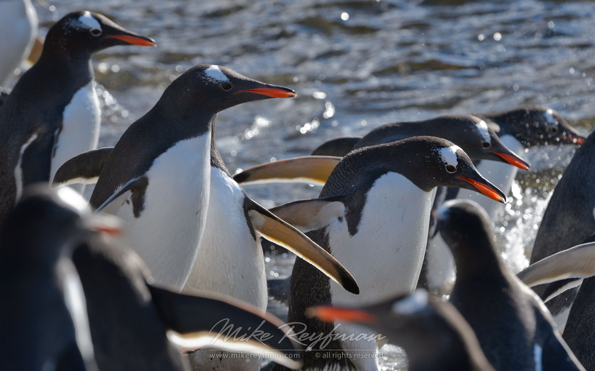Gentoo Penguins (Pygoscelis papua). Prion Island, South Georgia, Sub-Antarctic - King-Penguins-South-Georgia-Sub-Antarctic - Mike Reyfman Photography